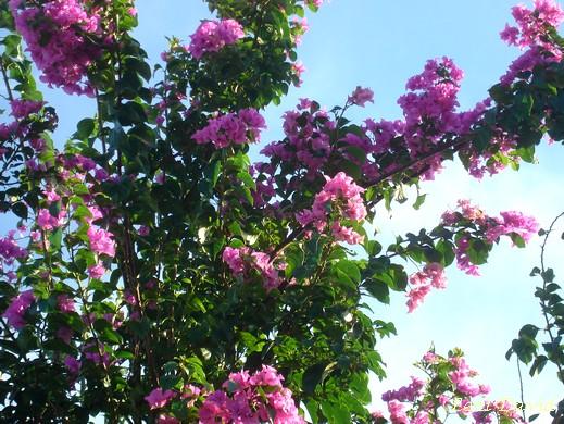 Bouganvillier do meu jardim