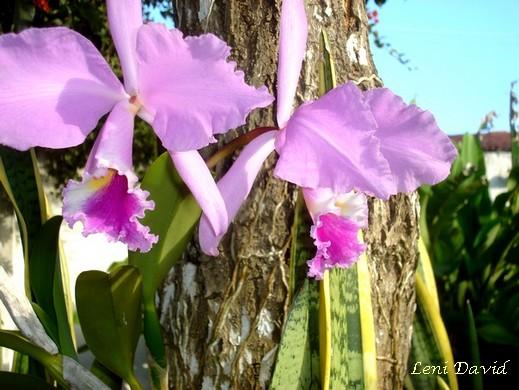 Orquídea de Iara