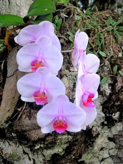 Orquídeas do jardim de Sílvia