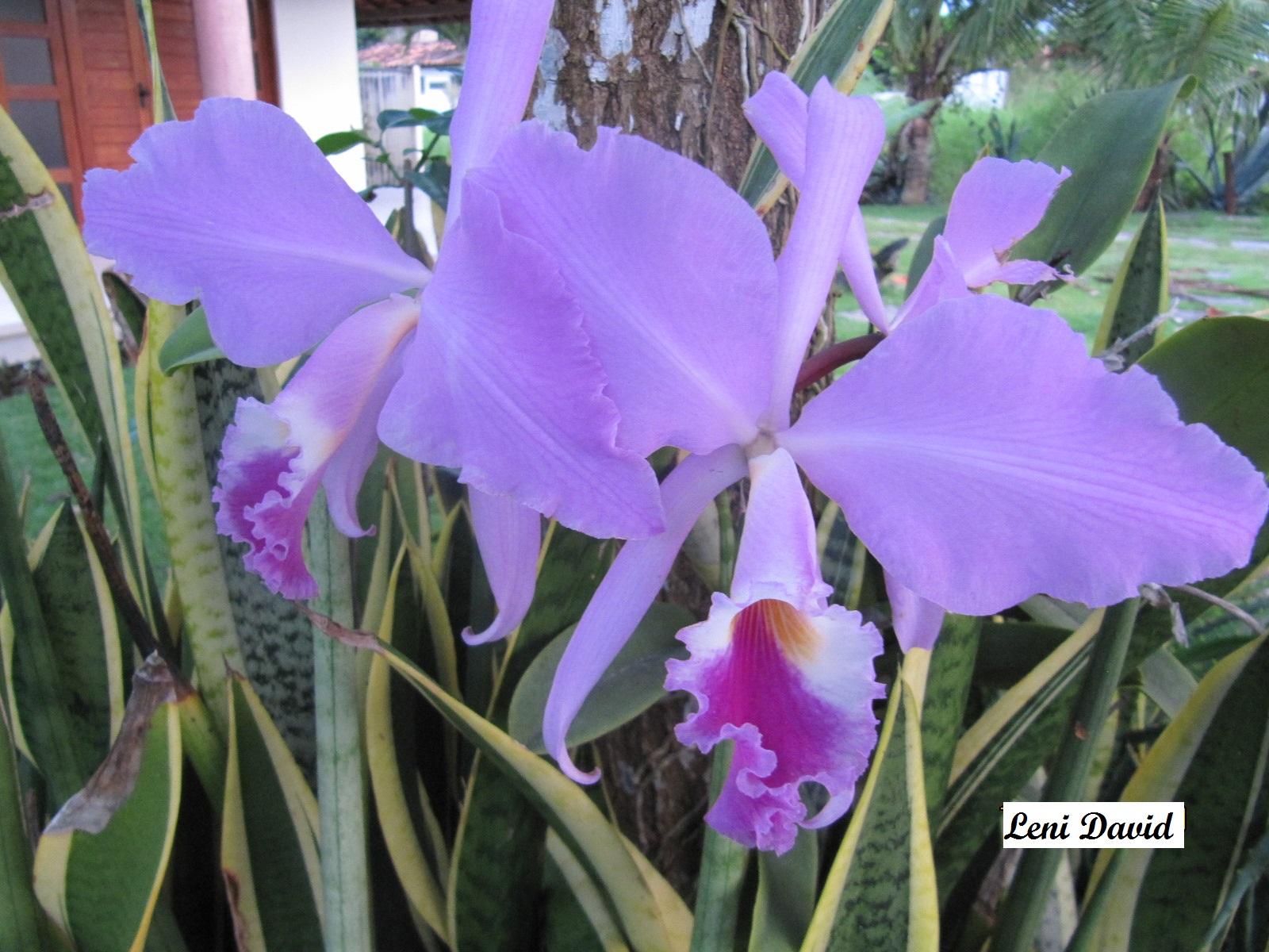 Orquidea_azul